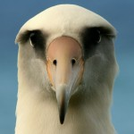 Albatross eyes