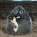 Chick eats eggshell